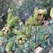 Mimosa burkartii - Photo (c) Martin Coronel Varela, μερικά δικαιώματα διατηρούνται (CC BY-NC)