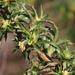 Cliffortia phillipsii - Photo (c) Tony Rebelo,  זכויות יוצרים חלקיות (CC BY-SA)