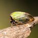 Stictocephala basalis - Photo (c) Jason Headley, alguns direitos reservados (CC BY-NC)