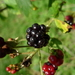 European Bramble Complex - Photo (c) DM, some rights reserved (CC BY-ND)