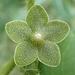 Matelea reticulata - Photo (c) Mike Quinn, Austin, TX, osa oikeuksista pidätetään (CC BY-NC)