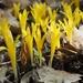 Sternbergia colchiciflora - Photo (c) Yael Orgad, osa oikeuksista pidätetään (CC BY-NC)