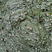 Candy Lichen - Photo (c) Richard Droker, some rights reserved (CC BY-NC-ND)