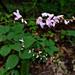 Hylodesmum glutinosum - Photo (c) Fritz Flohr Reynolds, algunos derechos reservados (CC BY-SA)