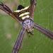 Argiope reinwardti - Photo (c) budak, algunos derechos reservados (CC BY-NC)