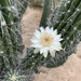 Toothpick Cactus - Photo (c) jlcartes, some rights reserved (CC BY-NC)