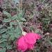 Rosa de Castilla - Photo (c) MP Zhou, algunos derechos reservados (CC BY-NC)