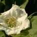 Mespilus germanica - Photo (c) AnneTanne, algunos derechos reservados (CC BY-NC)