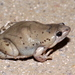 Mazatlan Narrow-mouthed Toad - Photo (c) Matt Muir, some rights reserved (CC BY-SA)