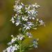 Symphyotrichum drummondii - Photo (c) Mark Kluge, algunos derechos reservados (CC BY-NC-ND)