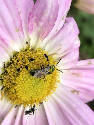 Pure Green Sweat Bee