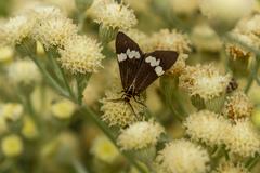 Australian Magpie Moth