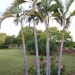 Palma Areca de Madagascar - Photo (c) asi2, algunos derechos reservados (CC BY-NC)