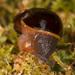 Victaphanta milligani - Photo (c) Keith Martin-Smith, μερικά δικαιώματα διατηρούνται (CC BY-NC-ND)