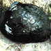 Ouachita Rock Pocketbook - Photo USFWS, no known copyright restrictions (public domain)