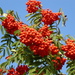 European Mountain Ash - Photo (c) Hans Kylberg, some rights reserved (CC BY)