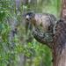 Sciurus niger shermani - Photo (c) Mary Keim, algunos derechos reservados (CC BY-NC-SA)