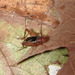 Tinkling Ground Cricket - Photo (c) Thomas J. Walker/Singing Insects of North America, some rights reserved (CC BY-NC-SA)