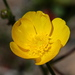 Buttercups, Poppies, and Allies - Photo (c) Cody Hough, some rights reserved (CC BY-NC-SA)
