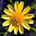 Balduina angustifolia - Photo (c) Bob Peterson, algunos derechos reservados (CC BY-NC-SA)