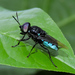 Soldier Flies - Photo (c) Cheryl Harleston López Espino, some rights reserved (CC BY-NC-ND)