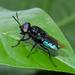 Stratiomyidae - Photo (c) Cheryl Harleston López Espino, alguns direitos reservados (CC BY-NC-ND)