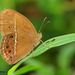 Dingy Bushbrown - Photo (c) Chathuri Jayatissa, some rights reserved (CC BY-NC)