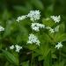 Galium odoratum - Photo (c) AnneTanne, algunos derechos reservados (CC BY-NC)