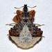Phymata monstrosa - Photo (c) faluke, algunos derechos reservados (CC BY-NC)