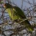 Amazona tucumana - Photo (c) josebv,  זכויות יוצרים חלקיות (CC BY-NC)