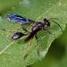 Isodontia auripes - Photo (c) Tracey Fandre,  זכויות יוצרים חלקיות (CC BY-NC-ND)