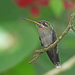 Band-tailed Barbthroat - Photo (c) Christoph Moning, some rights reserved (CC BY)