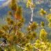 Pinus albicaulis - Photo (c) T. Abe Lloyd, osa oikeuksista pidätetään (CC BY-NC)