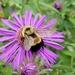 Bombus affinis - Photo (c) Debbie Johnson, μερικά δικαιώματα διατηρούνται (CC BY-NC)