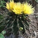 Hamatocactus hamatacanthus sinuatus - Photo (c) victormozqueda, some rights reserved (CC BY-NC)