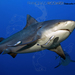 Bull Shark - Photo (c) Francesco Ricciardi, some rights reserved (CC BY-NC)
