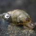Succinea chittenangoensis - Photo U.S. Fish and Wildlife Service, sin restricciones conocidas de derechos (dominio publico)