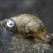 Succinea chittenangoensis - Photo U.S. Fish and Wildlife Service, לא ידועות מגבלות של זכויות יוצרים  (נחלת הכלל)