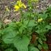 Sinapis arvensis - Photo (c) Gaspar Horvath, alguns direitos reservados (CC BY-NC)