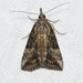 Hypena scabra - Photo (c) Royal Tyler, μερικά δικαιώματα διατηρούνται (CC BY-NC-SA)