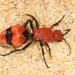 Avispas-hormiga de Terciopelo - Photo (c) Judy Gallagher, algunos derechos reservados (CC BY), uploaded by Judy Gallagher