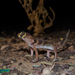 Teratoscincus bedriagai - Photo (c) Parham Beyhaghi, algunos derechos reservados (CC BY-NC)