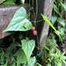 Zehneria japonica - Photo (c) jodyhsieh, algunos derechos reservados (CC BY-NC)