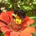 Bombus mexicanus - Photo (c) Anita E Shaul, μερικά δικαιώματα διατηρούνται (CC BY-NC)