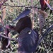 Rubus frondosus - Photo (c) Eric M Powell, algunos derechos reservados (CC BY-NC)