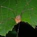Opilio canestrinii - Photo Δεν διατηρούνται δικαιώματα