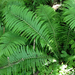 Ostrich Fern - Photo (c) naturalheritagetech, some rights reserved (CC BY-NC), uploaded by naturalheritagetech