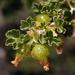 Ribes velutinum - Photo (c) matsonburger, osa oikeuksista pidätetään (CC BY-NC)