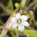 Sisyrinchium albidum - Photo (c) Frank Mayfield,  זכויות יוצרים חלקיות (CC BY-SA)