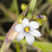 White Blue-eyed Grass - Photo (c) Frank Mayfield, some rights reserved (CC BY-SA)